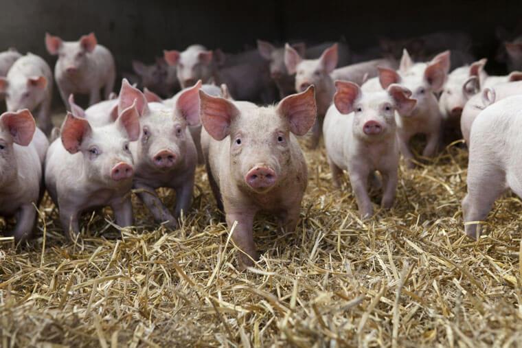 Schweine Tierarztpraxis Landshut